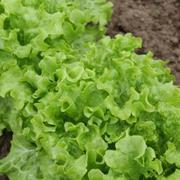 Семена салата KS 190 (Китано)